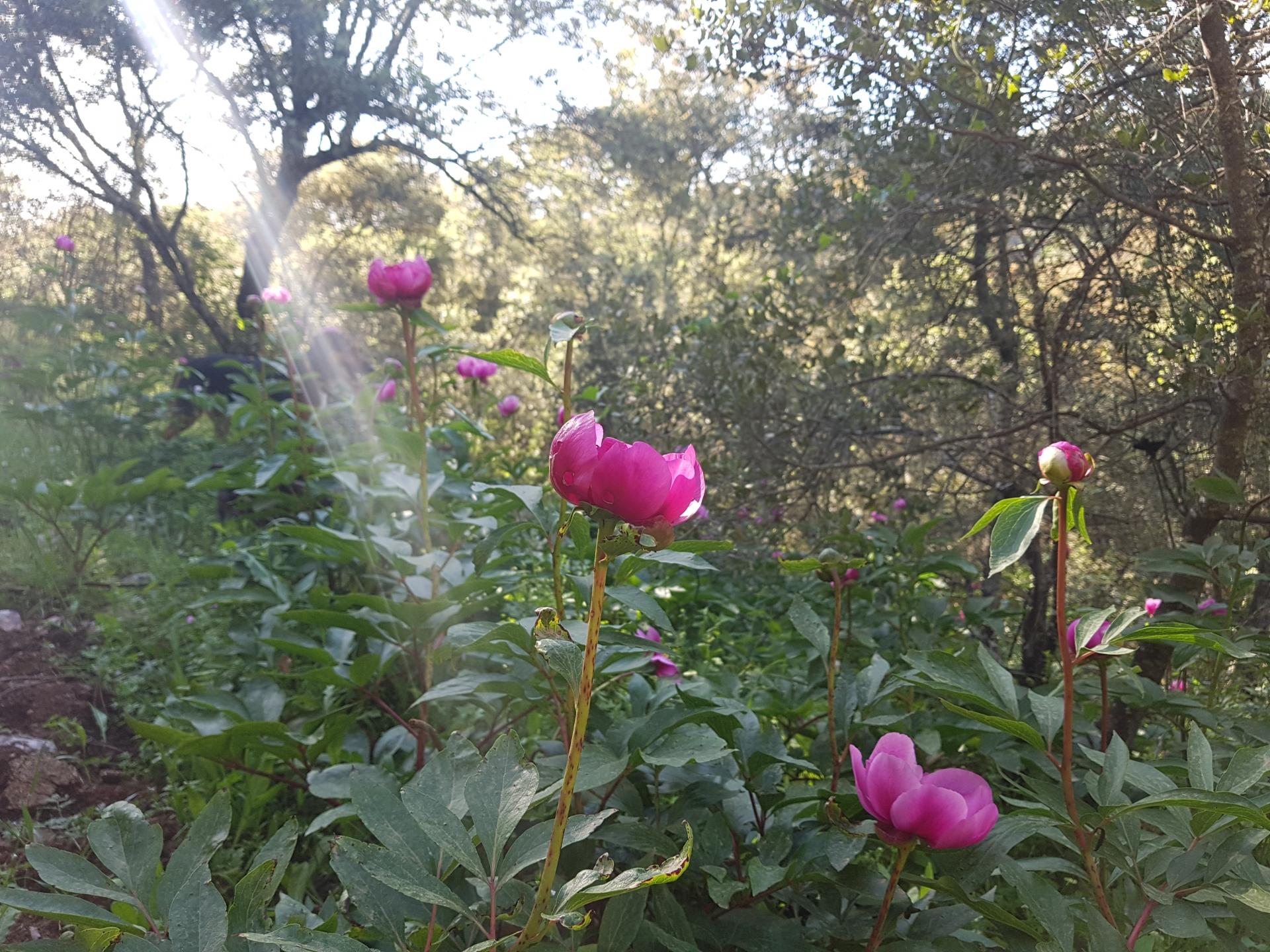 El bosque de hadas se viste de peonias...