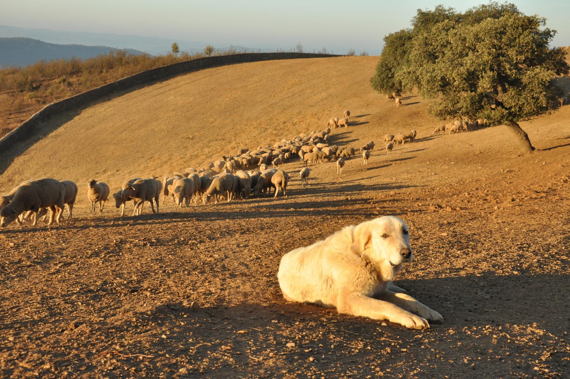 4.000 ovejas hacen la trashumancia hacia los pastos del norte