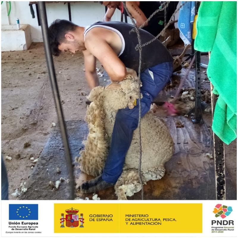 Grupo Operativo OVINNOVA. Las ovejas de Fundación Monte Mediterráneo se están preparando para su viaje a las montañas palentinas