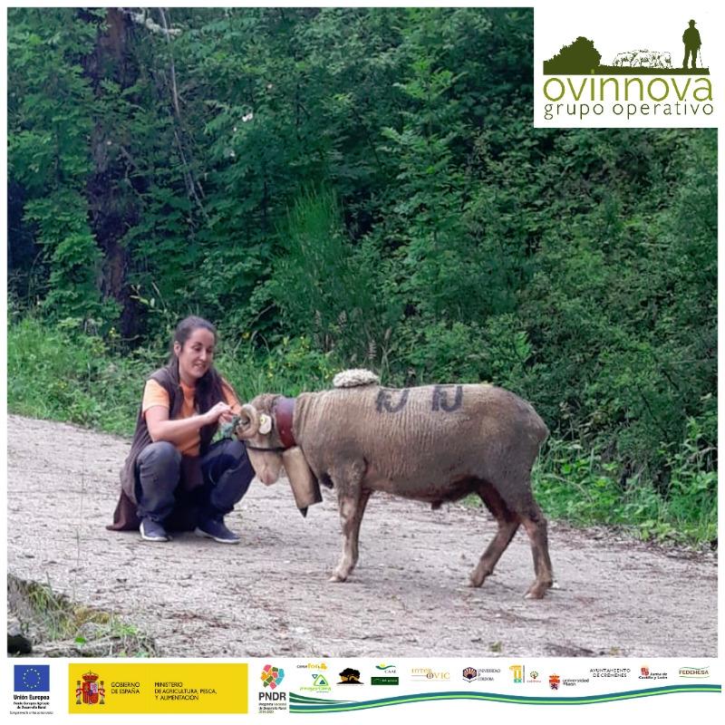 Grupo Operativo OVINNOVA. The beauty and the mutton – how to guide hundreds of sheep