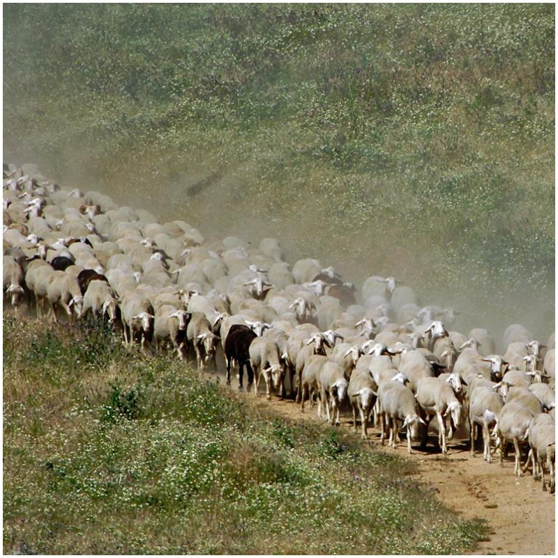 GRUPO OPERATIVO OVINNOVA. Un rebaño de más de mil ovejas atravesará Cervera de Pisuerga el próximo 24 de agosto