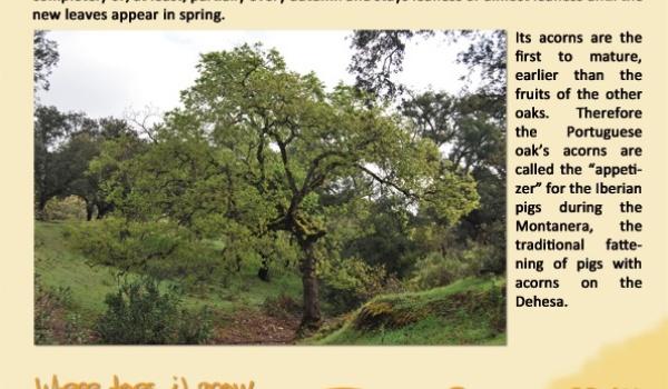 The portuguese oak