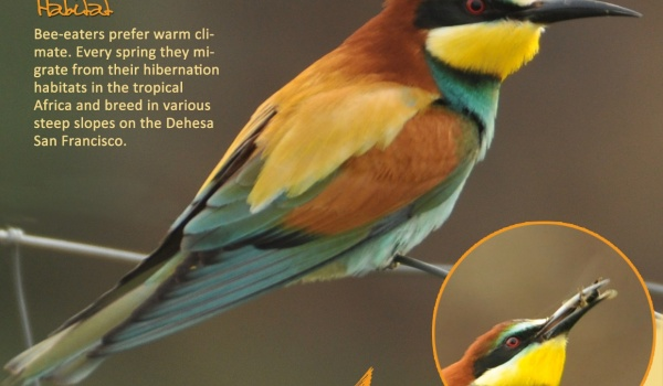 The Bee-eater