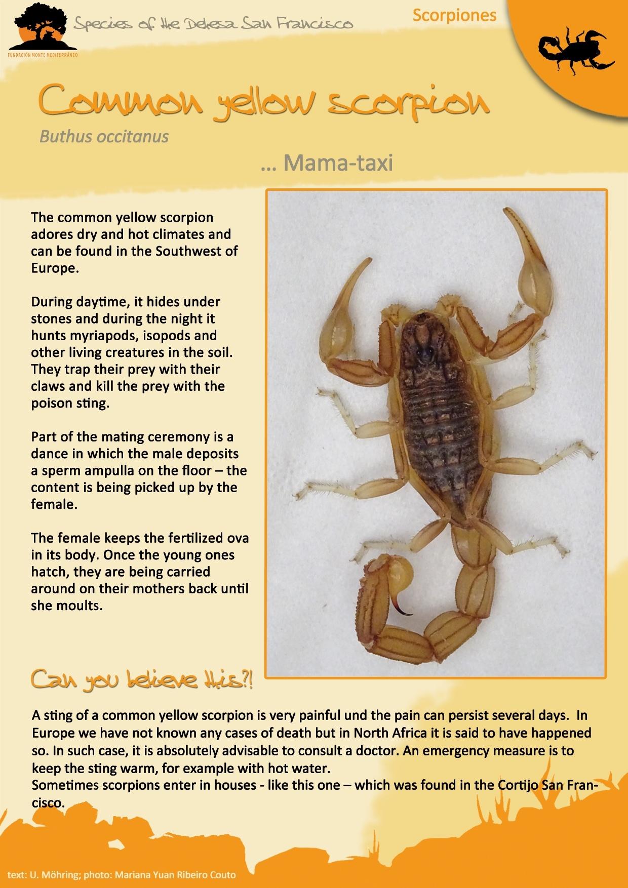 The Common Yellow Scorpion