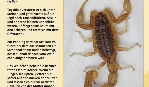 Der Gelbe Skorpion