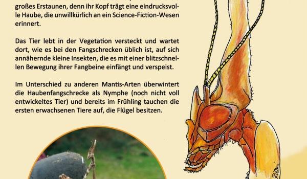 Die Haubenfangschrecke