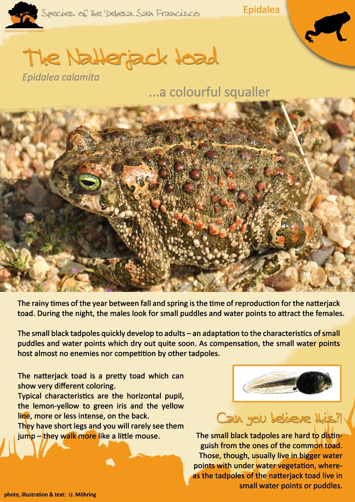 The Natterjack toad