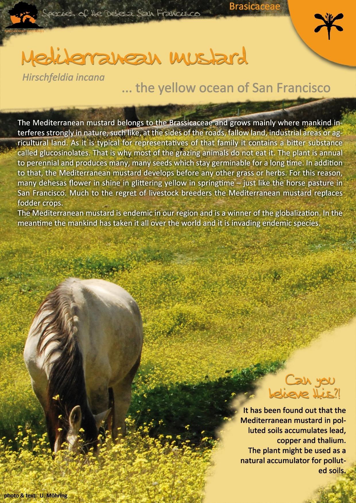 The Mediterranean mustard